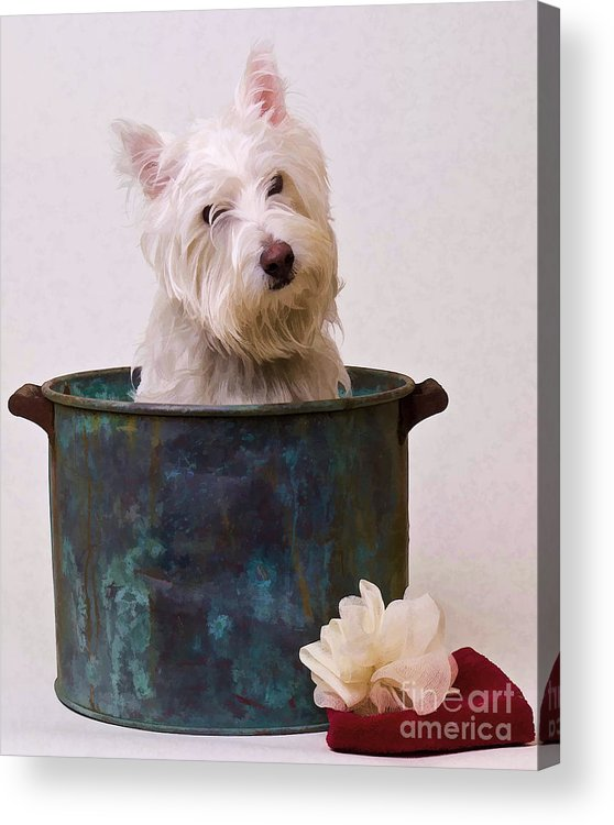Dog Acrylic Print featuring the photograph Bath Time Westie by Edward Fielding