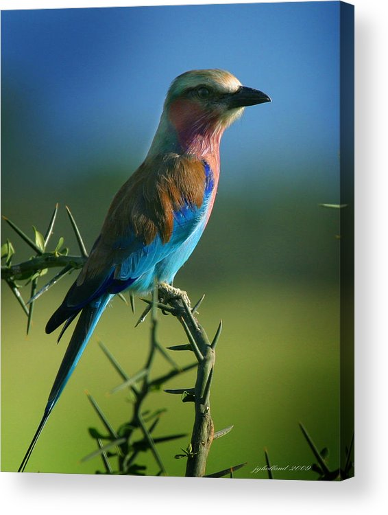 Bird Acrylic Print featuring the photograph Lilac Breasted Roller by Joseph G Holland