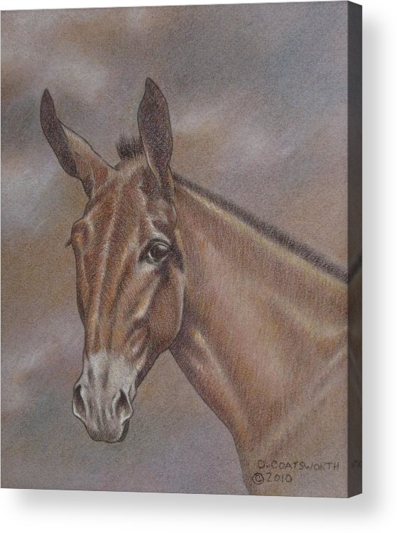 Acrylic Print featuring the pastel Mule Head by Dorothy Coatsworth