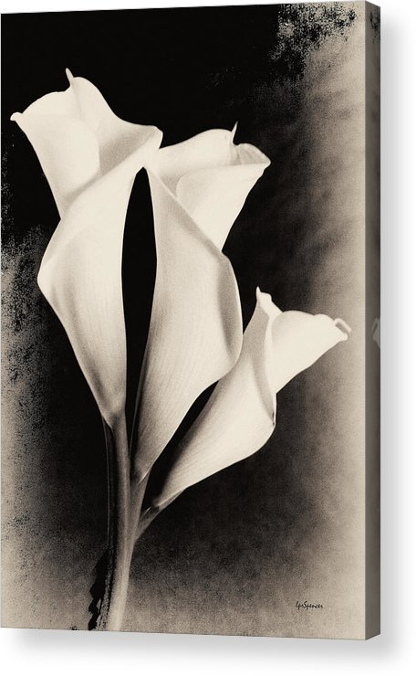 Floral Acrylic Print featuring the photograph Three Calla Lilies by Lisa Spencer