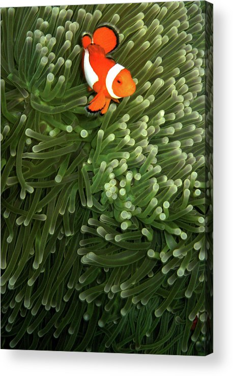 Vertical Acrylic Print featuring the photograph Orange Fish With Yellow Stripe by Perry L Aragon