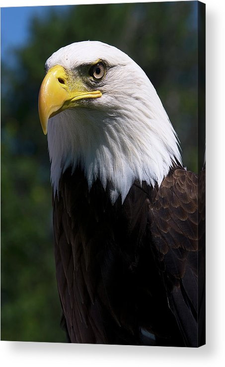 Skyhunter Acrylic Print featuring the photograph Bald Eagle by JT Lewis