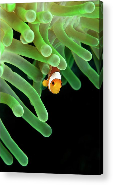 Vertical Acrylic Print featuring the photograph Clownfish On Green Anemone by Alastair Pollock Photography