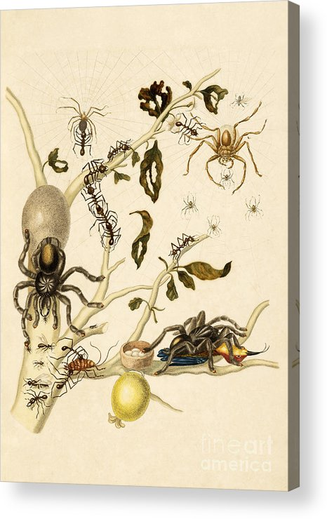 Branch Acrylic Print featuring the photograph Ants Spiders Tarantula And Hummingbird by Getty Research Institute