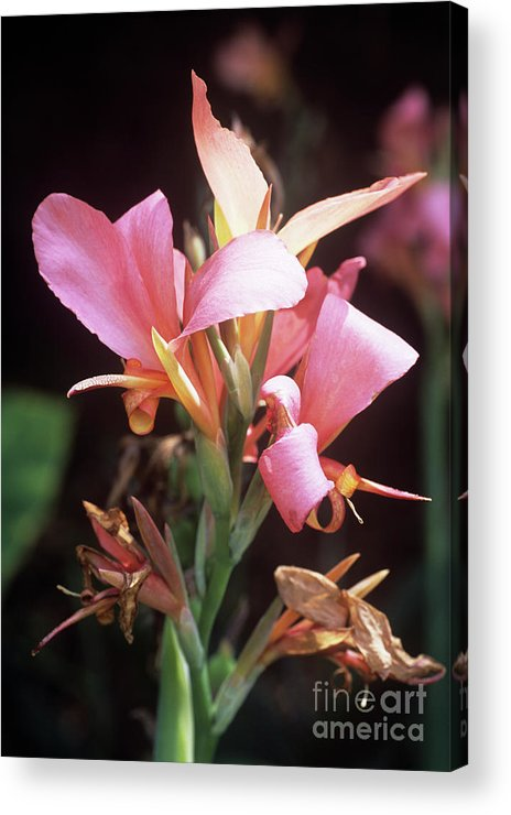 'erebus' Acrylic Print featuring the photograph Canna Lily 'erebus' by Adrian Thomas