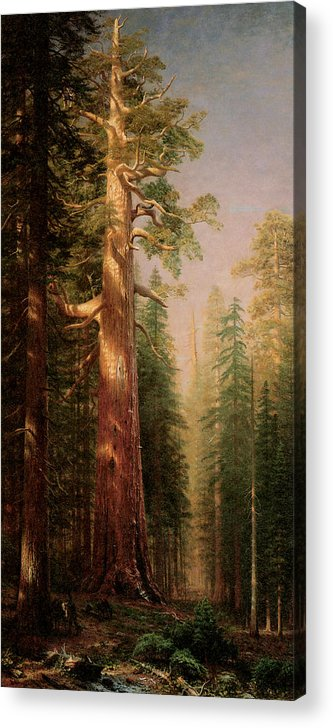 Albert Bierstadt Acrylic Print featuring the painting The Great Trees Mariposa Grove California by Albert Bierstadt