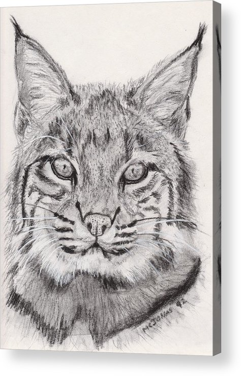 Nature Acrylic Print featuring the drawing Bobcat by Marqueta Graham