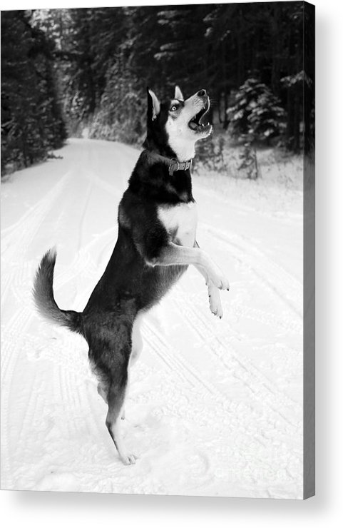 Dog Acrylic Print featuring the photograph Frolicking In The Snow - Black And White by Carol Groenen