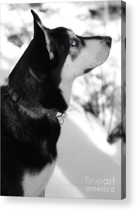 Dog Acrylic Print featuring the photograph Old Blue Eye by Carol Groenen