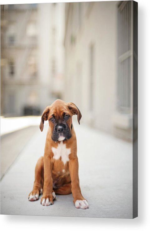 Vertical Acrylic Print featuring the photograph 2 Month Old Boxer Puppy Standing In Alley by Diyosa Carter
