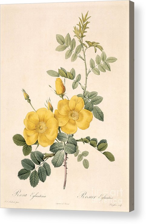 Rosa Acrylic Print featuring the drawing Rosa Eglanteria by Pierre Joseph Redoute