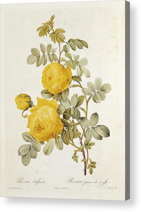 Rosa Acrylic Print featuring the drawing Rosa Sulfurea by Pierre Redoute