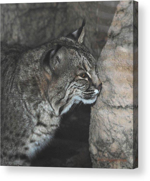 Bobcat Acrylic Print featuring the photograph Bobcat Love II by DiDi Higginbotham