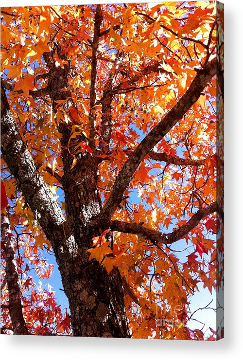 Autumn Acrylic Print featuring the photograph Looking Up by Barbara Shallue