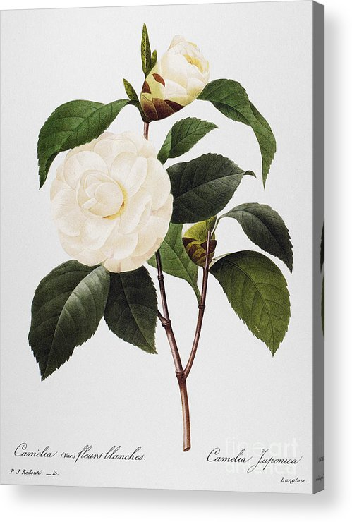 1833 Acrylic Print featuring the photograph Camellia, 1833 by Granger