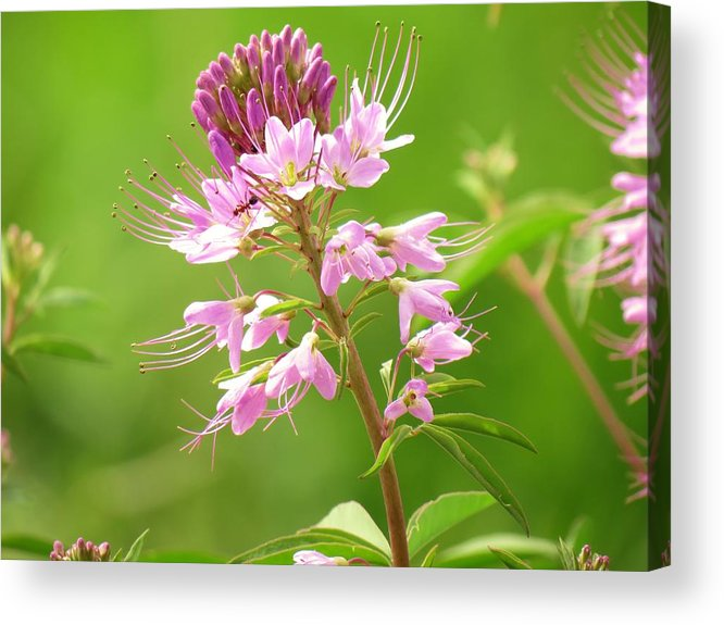 New Mexico Acrylic Print featuring the photograph Beeweed . . .with Ant by Feva Fotos