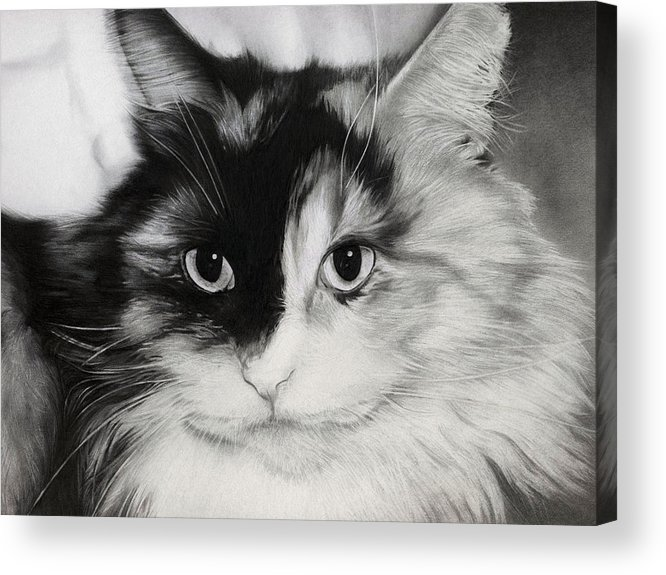 Cat Acrylic Print featuring the drawing Domestic Cat by Natasha Denger