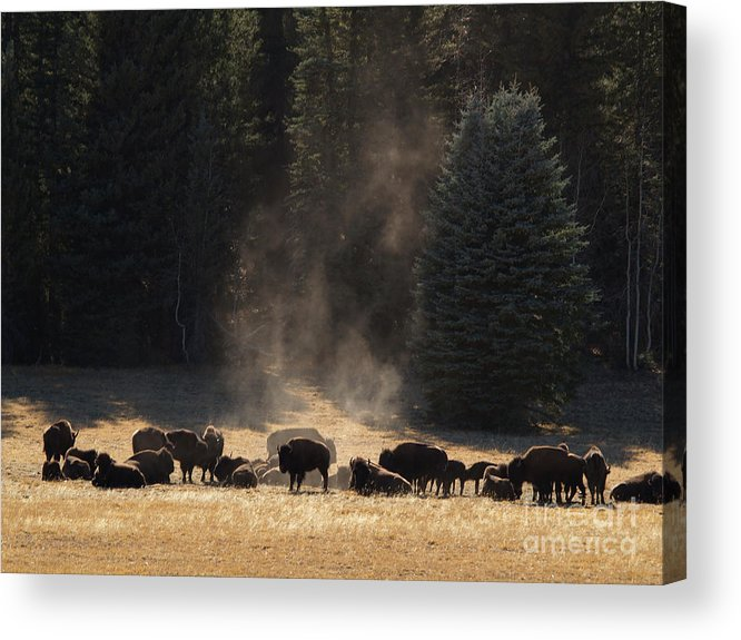 Landscape Acrylic Print featuring the photograph North Rim Bison Of The Grand Canyon by Alex Cassels