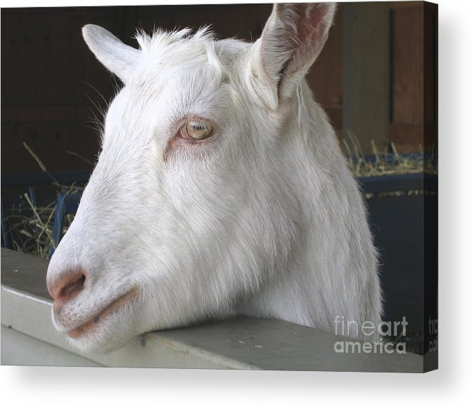 Goat Acrylic Print featuring the relief White Goat by Ann Horn