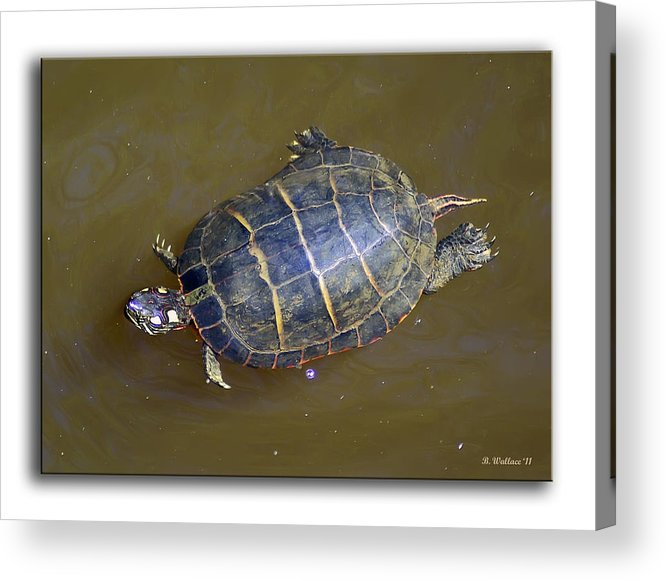 2d Acrylic Print featuring the photograph Chester River Turtle by Brian Wallace
