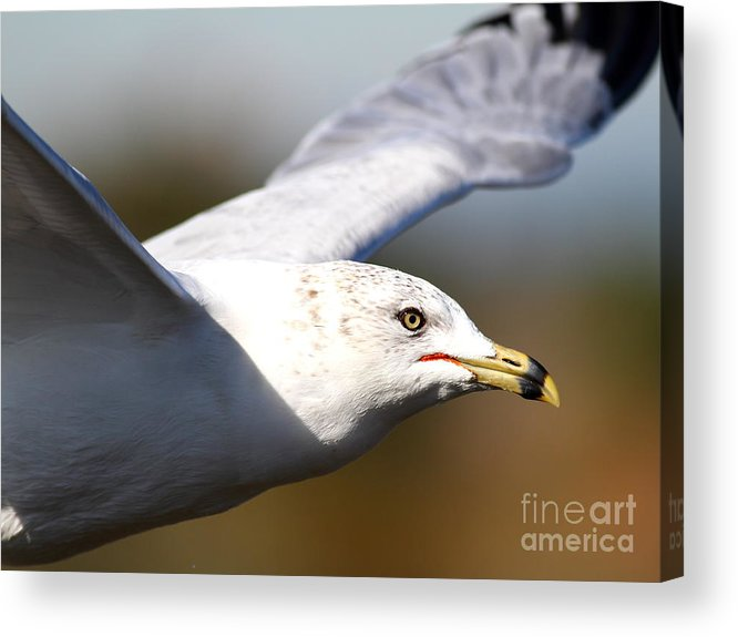 Bird Acrylic Print featuring the photograph Flying Seagull Closeup by Wingsdomain Art and Photography