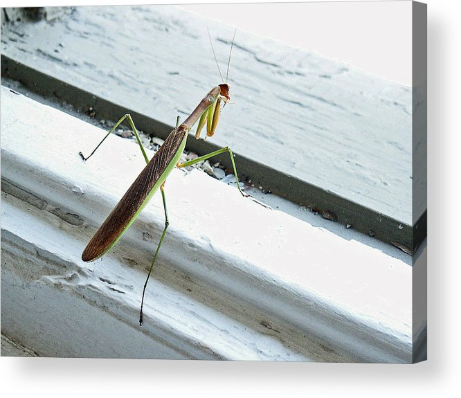 Mantid Acrylic Print featuring the photograph Heading Out by Lisa Phillips
