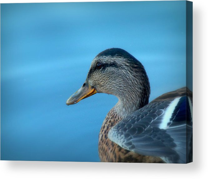 Cindy Acrylic Print featuring the photograph Mallard Hen Closeup by Cindy Wright