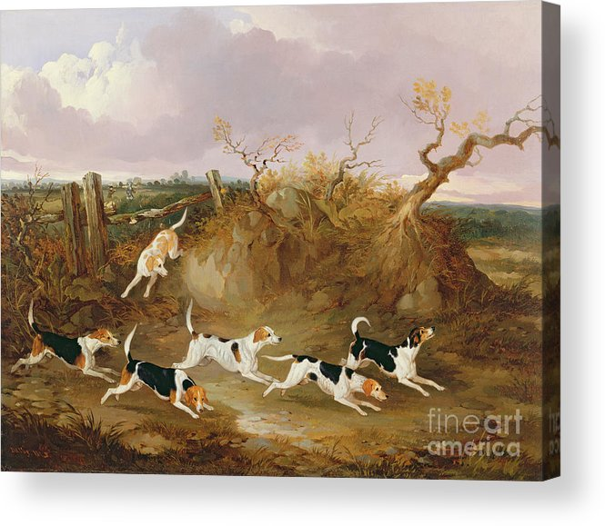 Beagles Acrylic Print featuring the painting Beagles In Full Cry by John Dalby