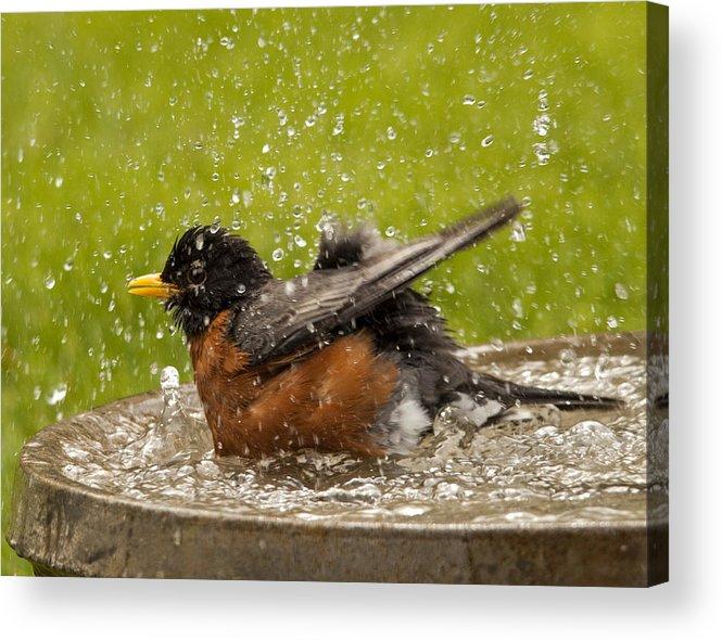 Robin Acrylic Print featuring the photograph Bathing Robin by Inge Riis McDonald