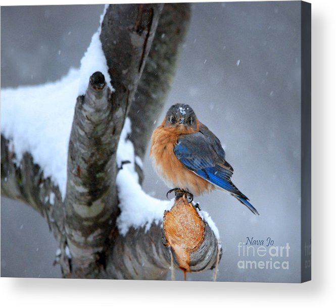 (contest Winner 3rd In 'best Snow Contest')(featured Art) Nava Jo Thompson Acrylic Print featuring the photograph Cranky Can Be Cute by Nava Thompson