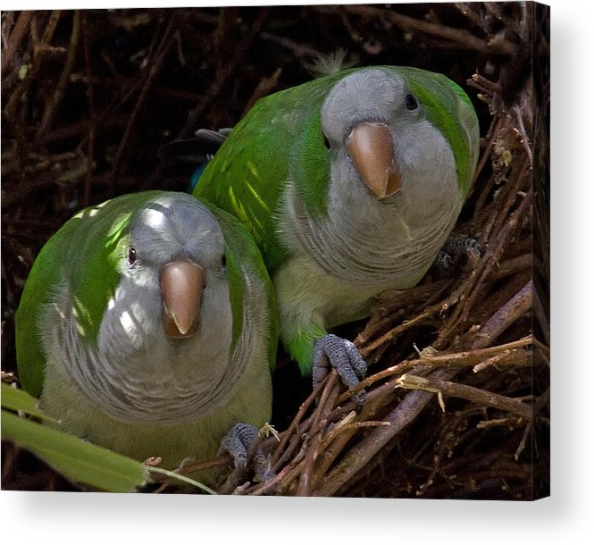 Monk Parakeet Acrylic Print featuring the photograph Monk Parakeet Pair by Larry Linton