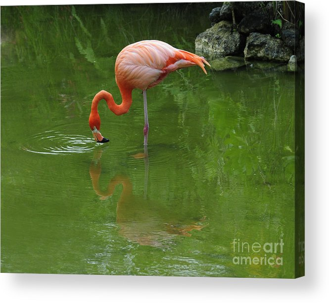 Pink Flamingo Acrylic Print featuring the photograph Pink Flamingo by Cindy Lee Longhini