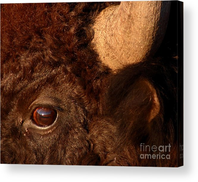 Buffalo Acrylic Print featuring the photograph Sunset Reflections In The Eye Of A Buffalo by Max Allen