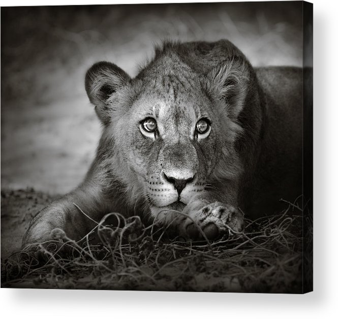 Wild Acrylic Print featuring the photograph Young Lion Portrait by Johan Swanepoel