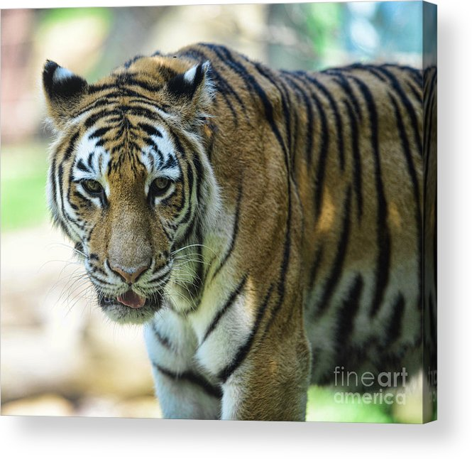 Tiger Acrylic Print featuring the photograph Tiger - Endangered - Wildlife Rescue by Paul Ward