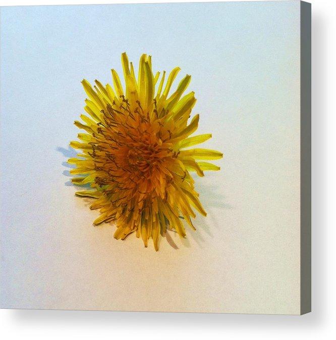 Dandelion Acrylic Print featuring the photograph Dandelion II by Anna Villarreal Garbis