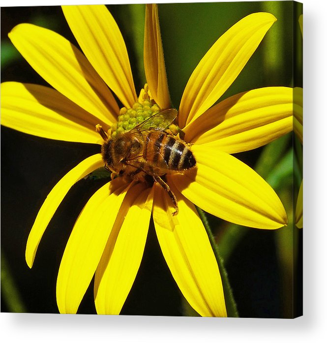 Bee Acrylic Print featuring the photograph Australian Bee Snacktime by Margaret Saheed