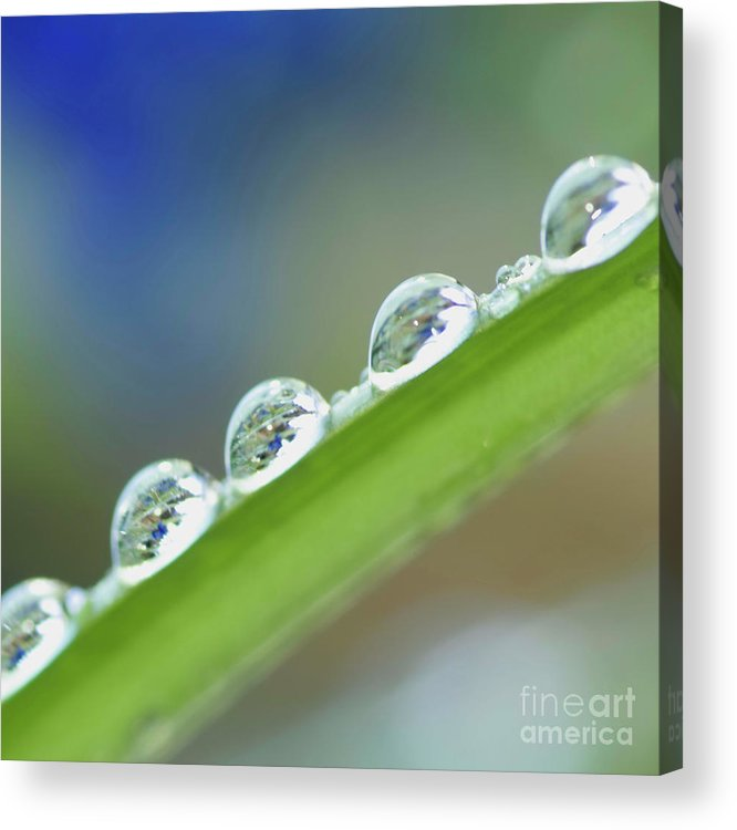 Drop Acrylic Print featuring the photograph Morning Dew Drops by Heiko Koehrer-Wagner