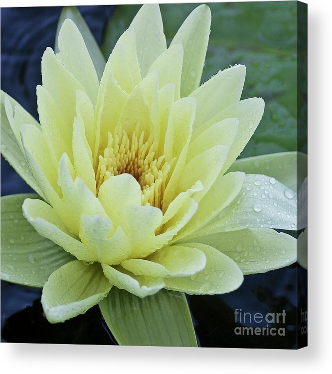 Water Llilies Acrylic Print featuring the photograph Yellow Water Lily Nymphaea by Heiko Koehrer-Wagner