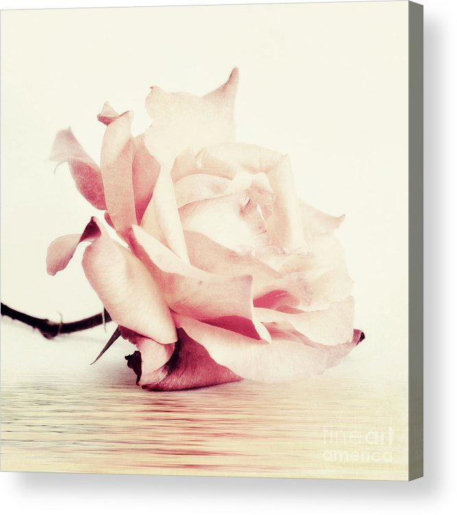 Rose Acrylic Print featuring the photograph Lucid by Priska Wettstein