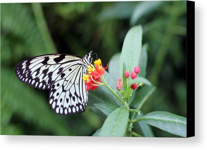Black And White Butterfly Canvas Print featuring the photograph Black And White Butterfly by Abiy Azene