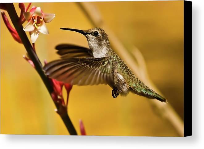 Birds Canvas Print featuring the photograph Hummingbird by Robert Bales