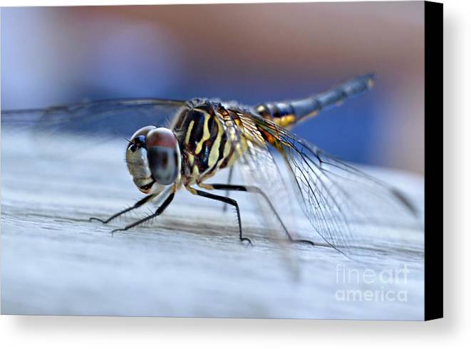 Tiger Dragonflies Canvas Print featuring the photograph Stop By Tiger Dragon Fly by Peggy Franz