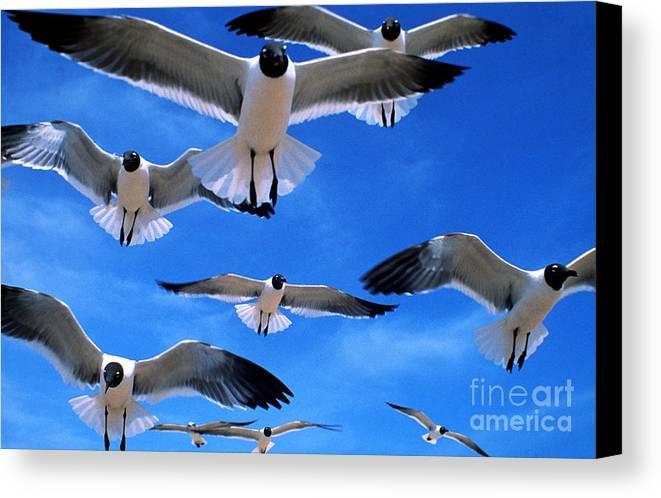 Gull Canvas Print featuring the photograph Gulls In Flight by Geoge Ranalli