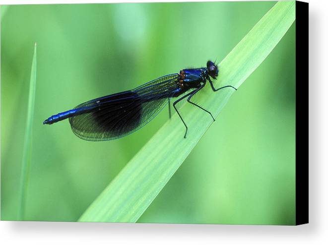 Damselfly Canvas Print featuring the photograph Male Banded Damselfly by Dr Keith Wheeler