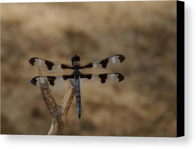 Dragonfly Canvas Print featuring the photograph 12 Spotted Skimmer by Dick Todd