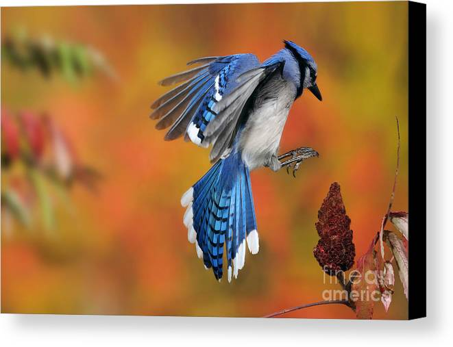 Blue Jay Canvas Print featuring the photograph Blue Jay by Scott Linstead