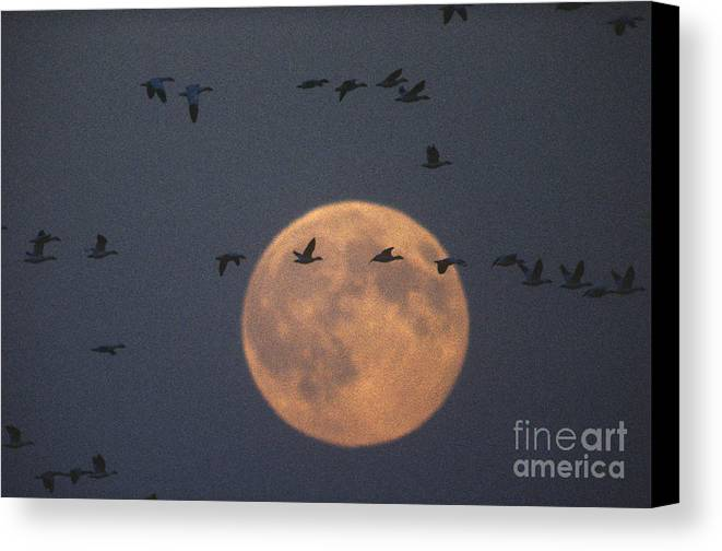 Auna Canvas Print featuring the photograph Snow Geese by James L. Amos