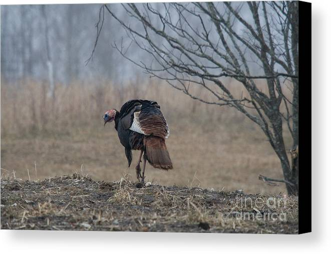 Eastern Wild Turkey Canvas Print featuring the photograph Male Eastern Wild Turkey by Linda Freshwaters Arndt