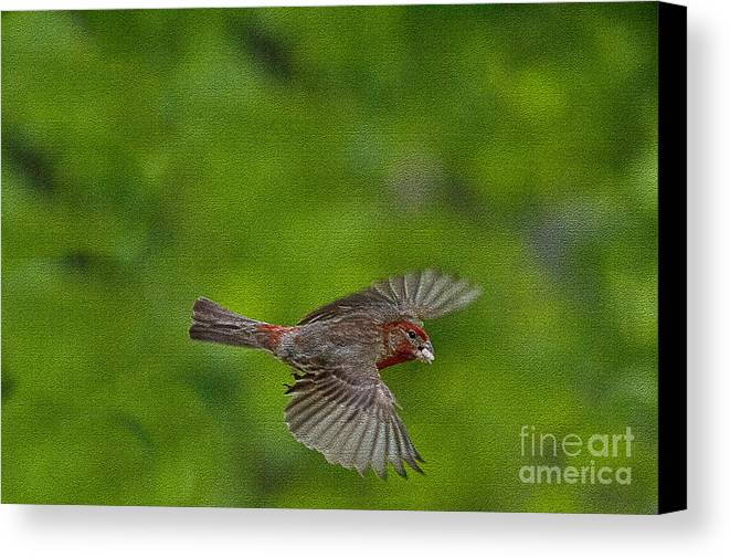 Bird Canvas Print featuring the photograph Bird Soaring With Food In Beak by Dan Friend